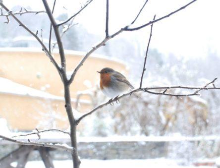 robin in winter at CAT