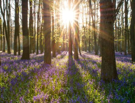 Sun shining through bluebell woods