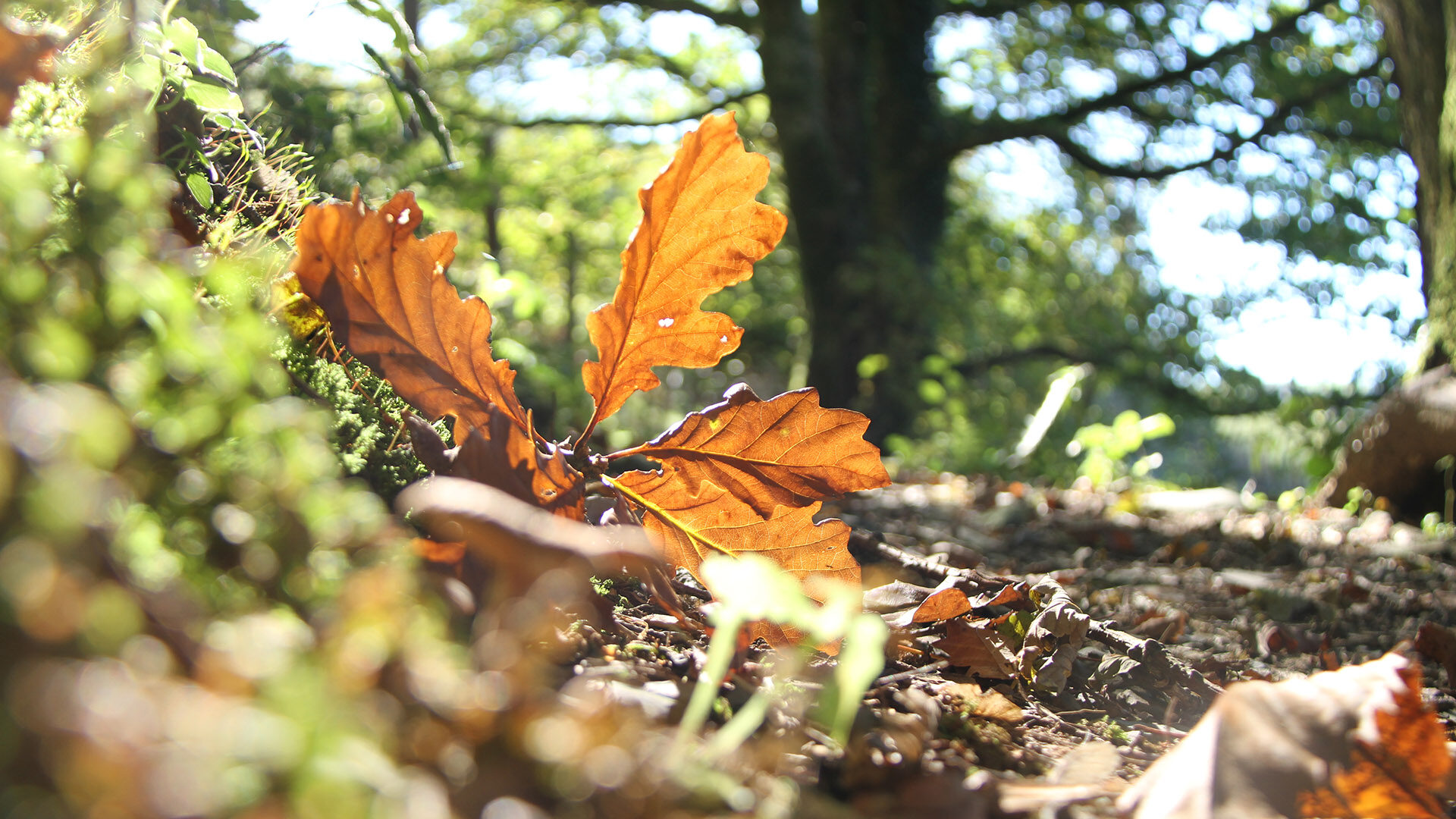 Fallen leaf, Autumn Woodlands at CAT