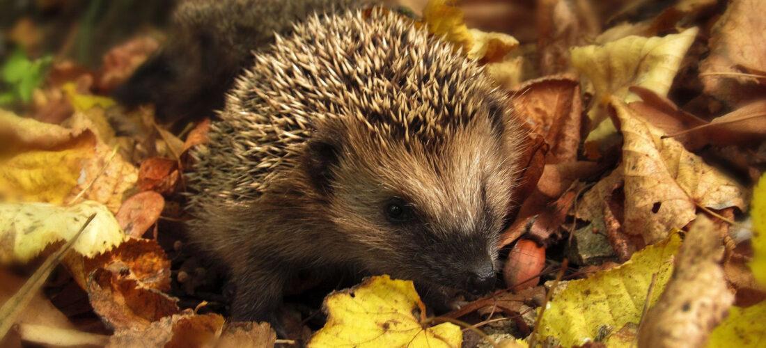 hedgehog among autumn leaves