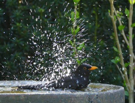 Blackbird in bird bath