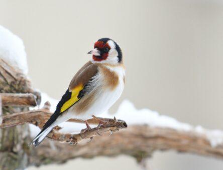 Goldfinch in snow
