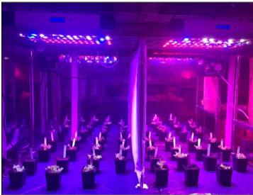 Experiment studying growth and coloration in Lollo Rossa lettuce under LED lights at IBERS, Aberystwyth University