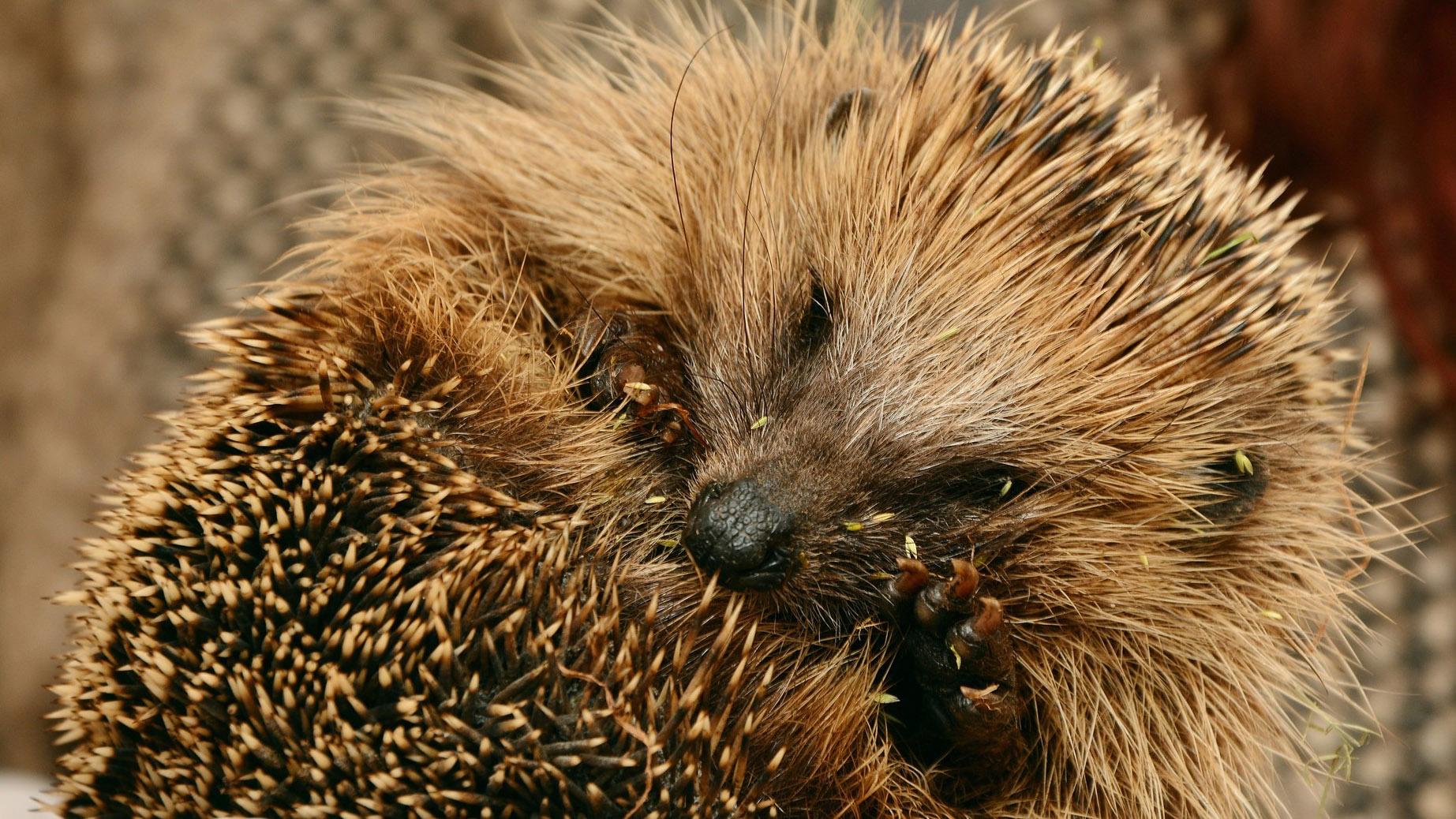 Rolled up Hedgehog